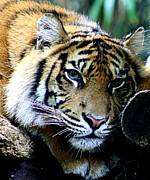 Australia Photographs Photos - Sumatran Tiger - Melbourne Zoo by Tam Graff