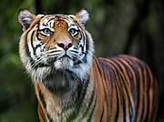 The Tiger Metal Prints - Sumatran Tiger Metal Print by Allan Baxter