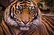Strips Prints - Sumatran Tiger Print by Chad Davis