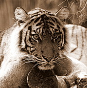 Animal Photographs Framed Prints - Sumatran Tiger in Sepia Framed Print by Tam Graff