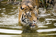 Scowl Prints - Sumatran Tiger in the water Print by Ed Book