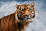 Cats Prints - Sumatran Tiger Print by Julie L Hoddinott