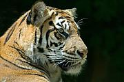 Tiger Metal Prints - Sumatran Tiger Metal Print by Mary Lane