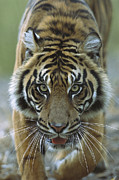 Frontal Metal Prints - Sumatran Tiger Panthera Tigris Sumatrae Metal Print by Zssd