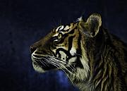 Cat Profile Framed Prints - Sumatran tiger profile Framed Print by Sheila Smart