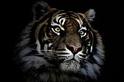 Sheila Smart Framed Prints - Sumatran tiger Framed Print by Sheila Smart