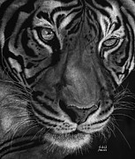 Scratchboard Drawings - Sumatran Tiger by Sheryl Unwin