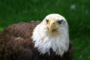 American Bird Posters - Summer Bald Eagle  Poster by Karol  Livote