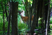 Summer Buck 1 Print by Scott Hovind