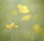 Buttercup Posters - Summer Buttercups Poster by Nicola Pearson [Getty Images]