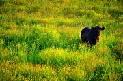 Country Scenes Prints - Summer Cow Print by Emily Stauring