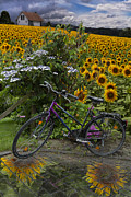 Flowers Sunflowers Barn Prints - Summer Cycling Print by Debra and Dave Vanderlaan