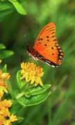 Gulf Fritillary Photos - Summer Delight by Betty LaRue