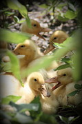 Rosa Shannon - Summer Ducklings