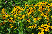 Black-eyed Susan Framed Prints - Summer Field of Yellow Framed Print by Ginger Harris