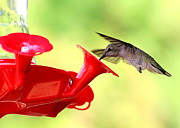 Hummingbird In Flight Posters - Summer Fun Hummingbird Poster by Carol Groenen