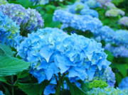 Blue Florals Prints - Summer Garden Blue Hydrangea Flowers art print Baslee Print by Baslee Troutman Fine Art Photography
