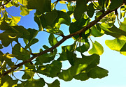 Dappled Light Photo Metal Prints - Summer Ginkgo Metal Print by Tamara Stoneburner