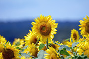 Sunflower Photos - Summer Gold by Edward Sobuta