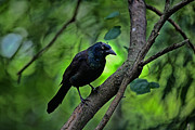 Common Grackle Posters - Summer Grackle Poster by Karol  Livote