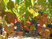 Grape Leaves Photos - Summer Grapes by Bonnie Muir