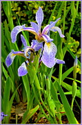 Purple. Iris. Buds Framed Prints - Summer Japanese Iris Framed Print by Mindy Newman