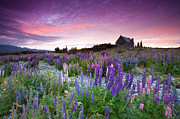 Built Structure Photo Prints - Summer Lupins At Sunrise At Lake Tekapo, Nz Print by Atan Chua