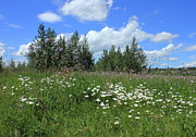 Alberta Photos - Summer Meadow by Jim Sauchyn
