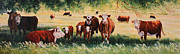 Hereford Prints - Summer Pastures Print by Toni Grote