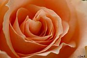Peach Rose Prints - Summer peach Print by Carol Lynch