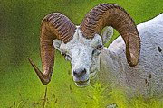 Graze Posters - Summer Portrait of a Ram- Abstract Poster by Tim Grams