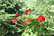 Red Geraniums Prints - Summer Special Print by Barbara S Nickerson