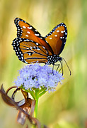 Queen Butterfly Posters - Summer Spirit  Poster by Saija  Lehtonen
