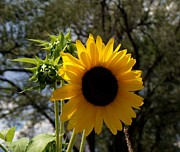 Donna Parlow - Summer Sunflower