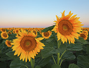 Large Sunflower Posters - Summer Sunflowers In Field Poster by Sarah Fischler - Images of the American West