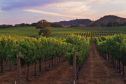 Grapevines Posters - Summer Sunset in Napa Valley Poster by Charlene Mitchell