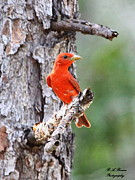 Tanager Originals - Summer Tanager by Barbara Bowen