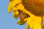 Blooms  Butterflies Photo Posters - Summer time Poster by Mircea Costina Photography