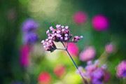Wildflower Photos Posters - Summer Verbena Poster by Amy Tyler