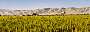 Corona Framed Prints - Summer Wheatfield Framed Print by Gilbert Artiaga