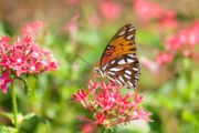 Gulf Fritillary Photos - Summertime by Betty LaRue