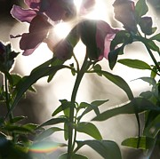 Snapdragons Prints - Sun and Snaps Print by Nathan Larson