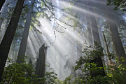 Inga Spence and Photo Researchers - Sun beams in Redwood Forest