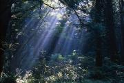 Entering Prints - Sun Beams Through Fog And Forest Trees Print by Natural Selection Craig Tuttle