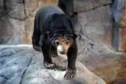 Sun Bear Print by Jeannie Burleson