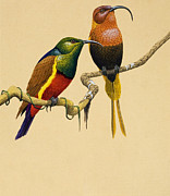 Bird Species Prints - Sun Birds Print by English School
