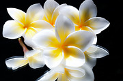 Plumerias Digital Art Prints - Sun Bright Plumerias Print by Joe Carini