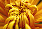 Flowers Photographs Originals - Sun Burst by Christopher  Ward