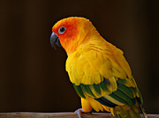 Tropical Birds Posters - Sun Conure Parrot Poster by Sandy Keeton
