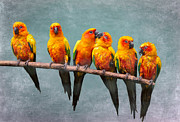 Malaysia Digital Art Framed Prints - Sun Conures Framed Print by Louise Heusinkveld